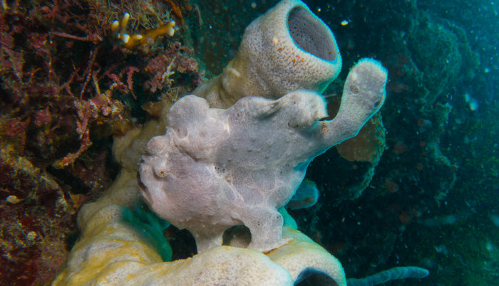 Grey Giant Frogfish