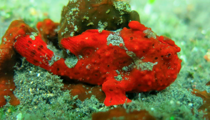 Painted Warty Frogfish  (Red Variation)