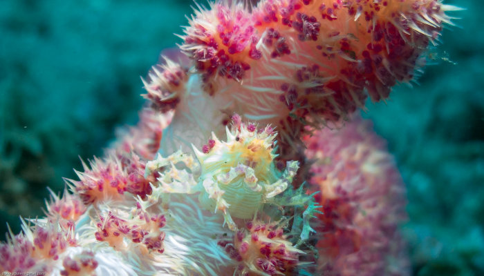 Soft Coral Candy Crab