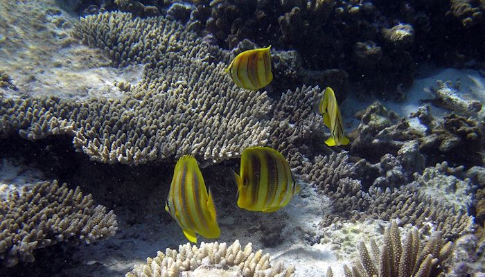 Gold Barred Butterflyfish
