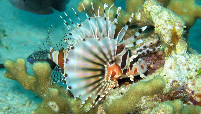 Cleartailed Lionfish