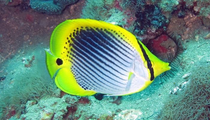 Spottail Butterfly Fish