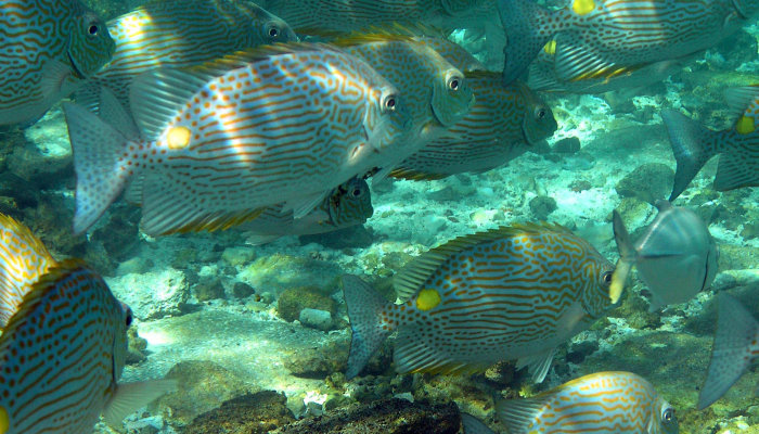 Yellow Spotted Snapper