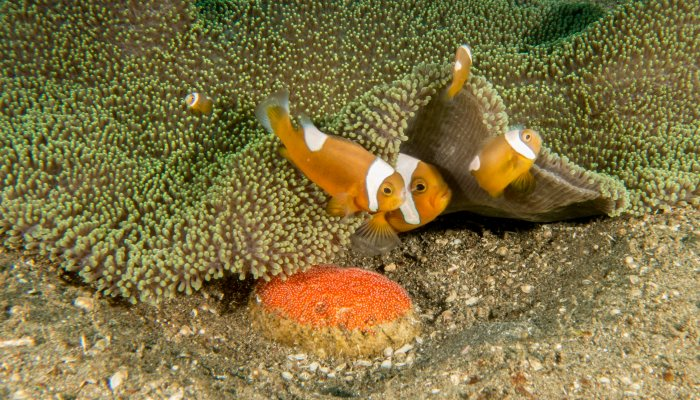 Clownfish group with eggs