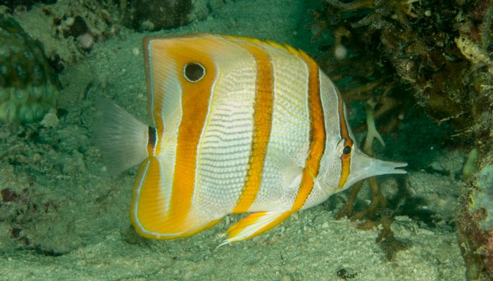 Long Beaked Coralfish
